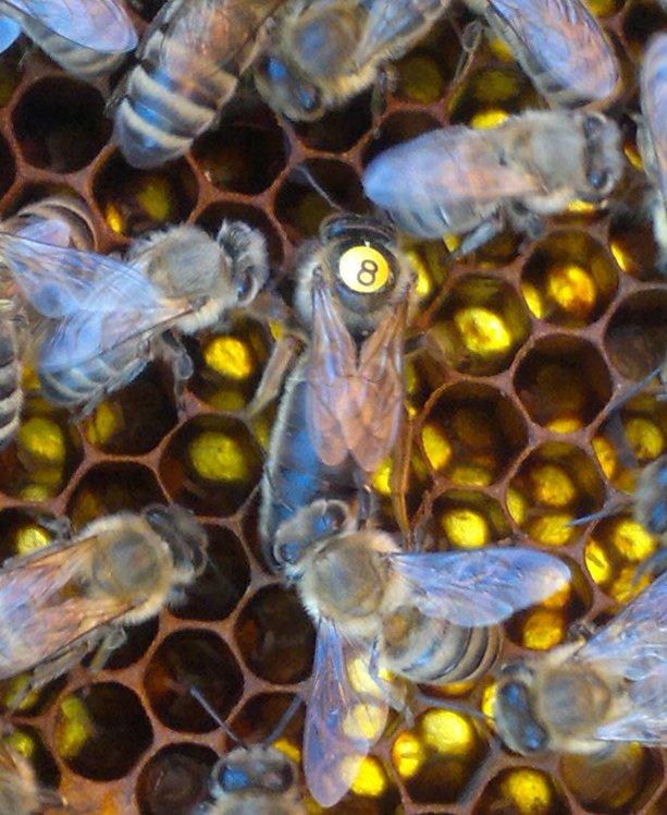 Пчелиная матка пешетц